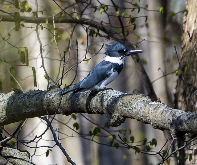 Belted Kingfisher-2