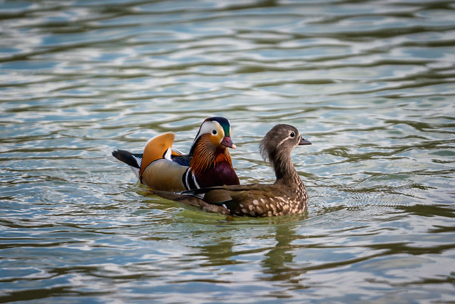 Mandarinenten Paar (Explored)