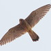 Rötelfalke (Falco naumanni) (2)