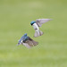 Tree Swallows - Eyes on Opponent-motion