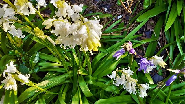 WILD GARLIC & BLUEBELLS