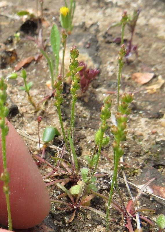 Plantago elongata