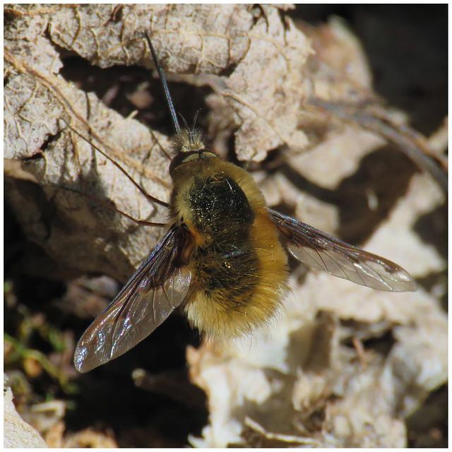 Bombylius major, Kingstown Wildlife Pond, 5 April 21