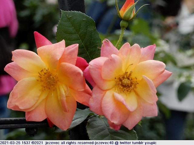 2021-03-25 1537 2021 Taipei Rose Festival