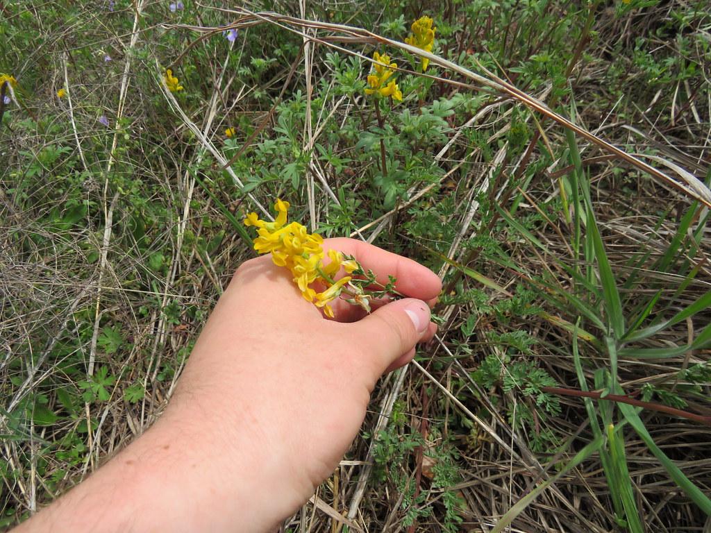 Corydalis aurea