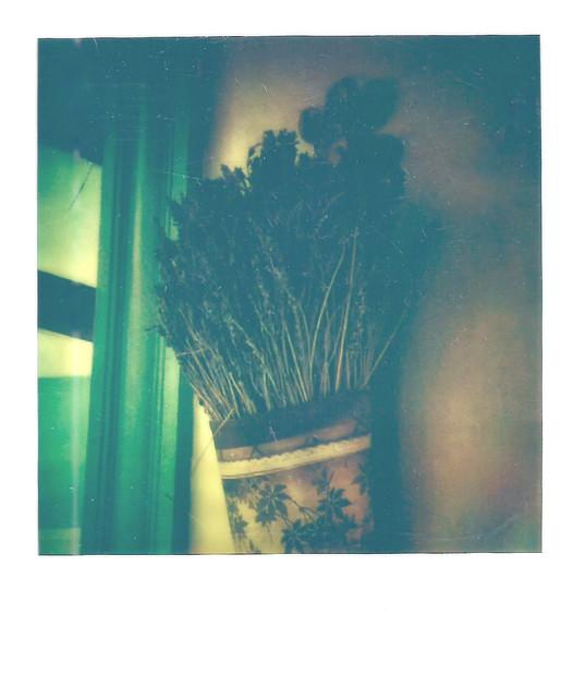 Spring Polaroid Week 2021, Bough of Dried Lavender
