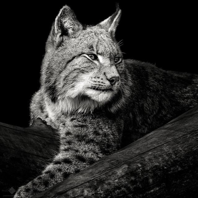 Lynx #4