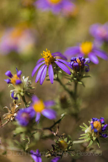 Asters at Empire Ranch in Arizona