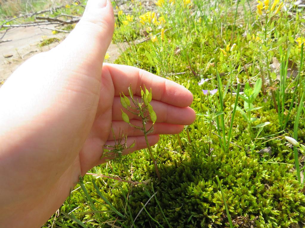 selenia seedpods