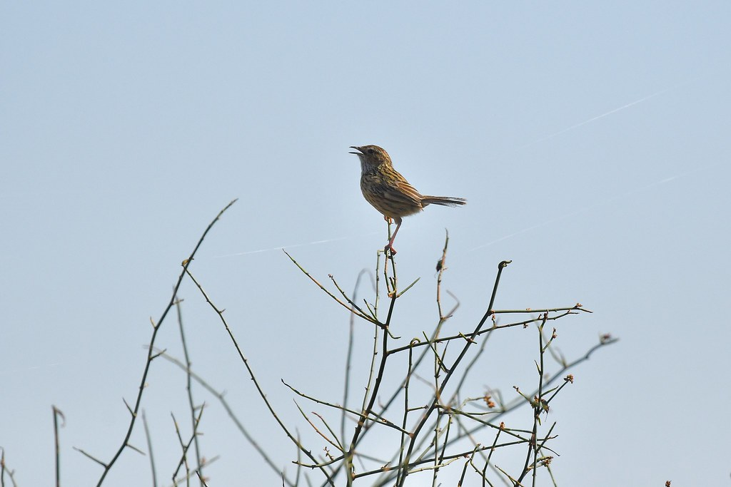 Striated Fieldwren ( I am here )