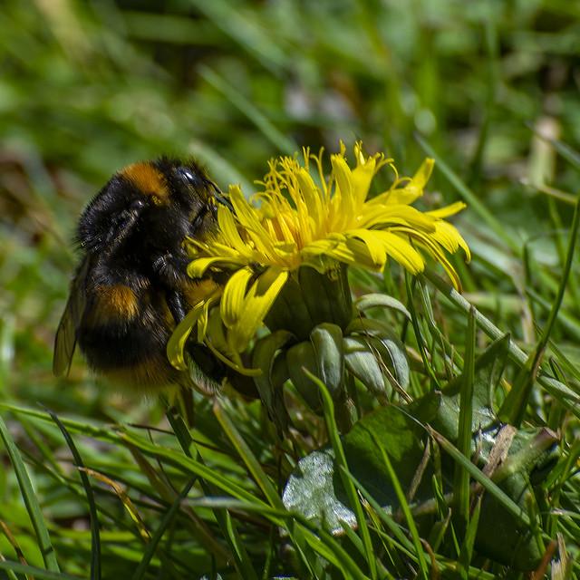 Bee & Dandelion 2.jpg