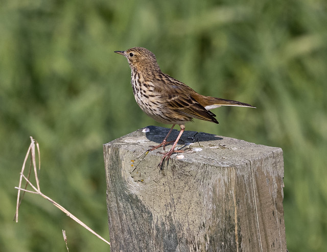 Meadow Pipet