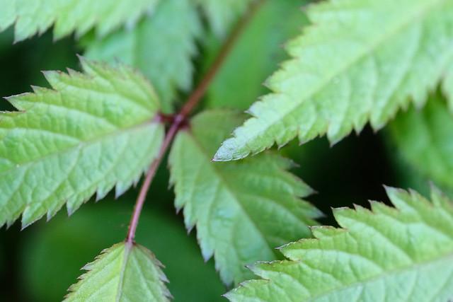 Spring Astilbe Leaves