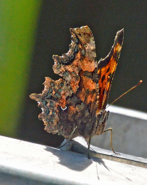 Green Comma Butterfly