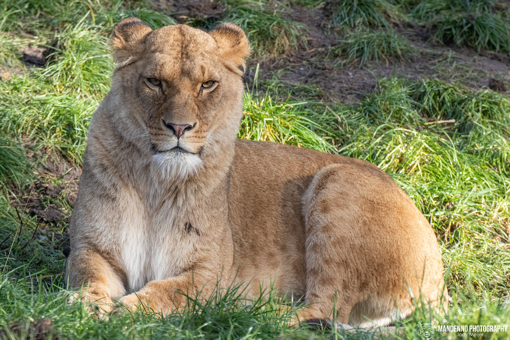 African Lioness - Safaripark Beekse Bergen - The Netherlands