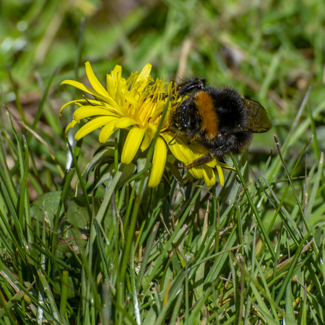 Bee & Dandelion.jpg