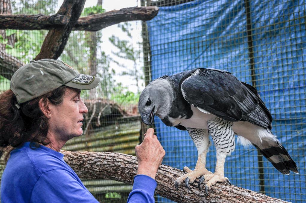 2010-12-27 TBZ-164 Sharon Matola feeding The Zoo's male Harpy Eagle