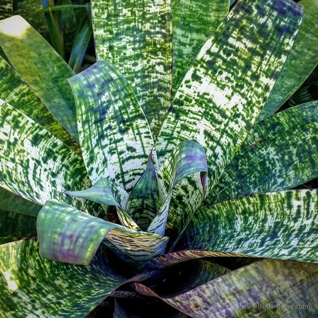 Vriesea hybrids