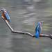 Kingfisher -202104200027.jpg