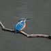 Kingfisher -202104200202.jpg
