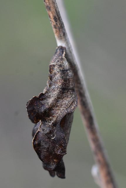 Crisálida en tallo seco de Bituminaria bituminosa