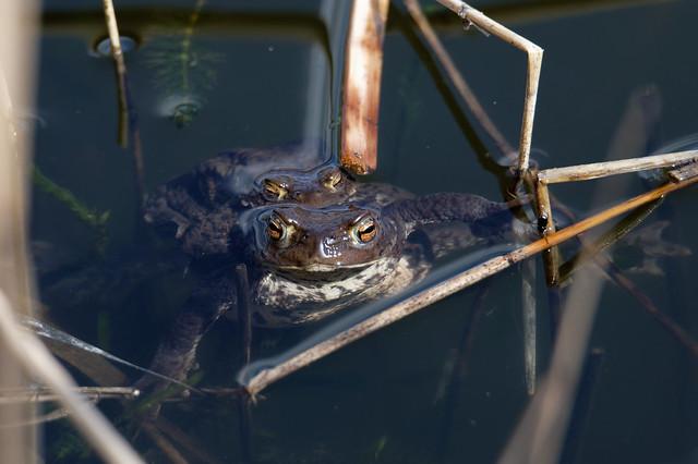 Common Toad (Bufo bufo) Vanlig padda