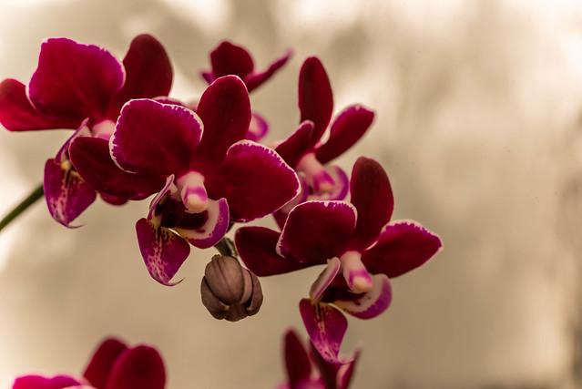 Maroon Orchid Beauty