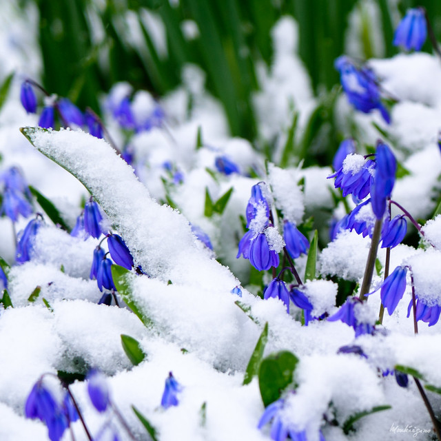 Scilla siberica in snow - Scille de Sibérie dans la neige