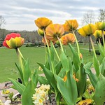 Spring flowers at Miller Park, Preston
