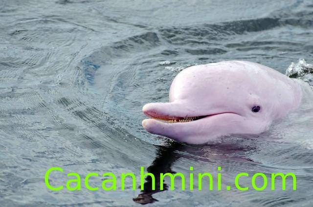 Khám phá bí ẩn cá heo hồng thần thoại sông Amazon