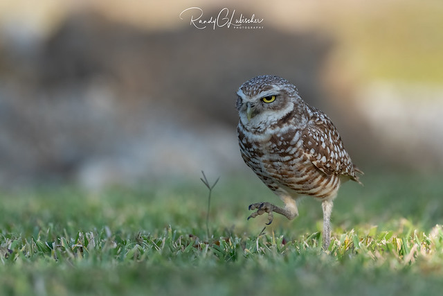 Burrowing Owl | Athene cunicularia | 2021 - 2
