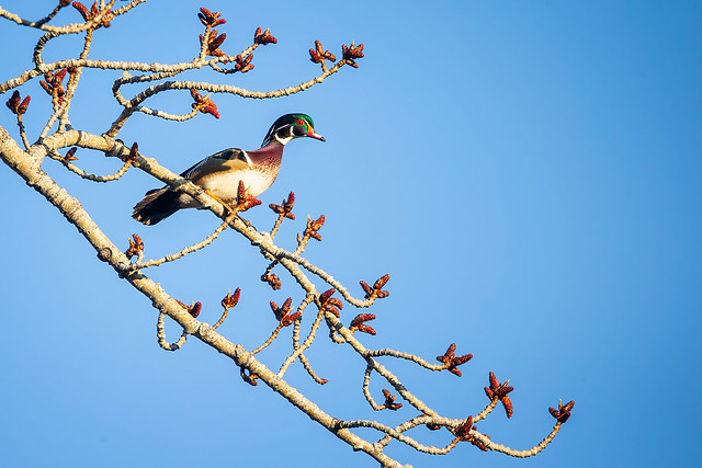 Cottonwood Perched Wood Duck