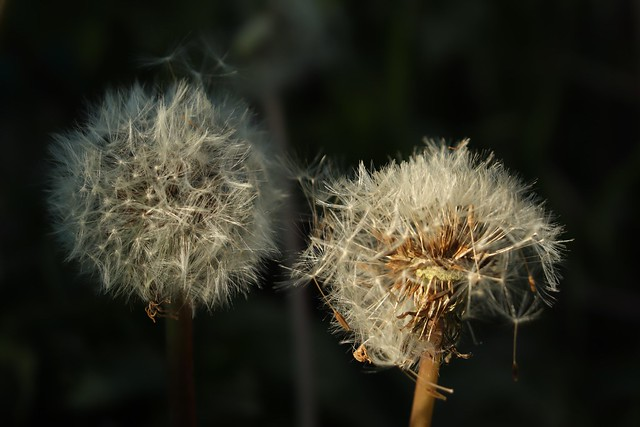 Dandelion Seeds -  Goldfinch and Sparrow Superfood