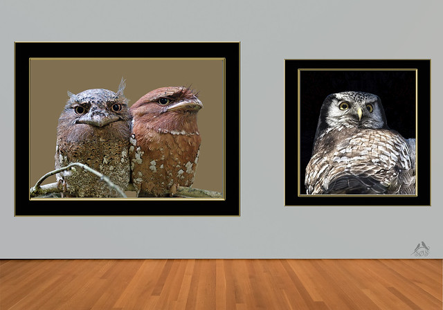Frogmouth and Northern Hawk Owl