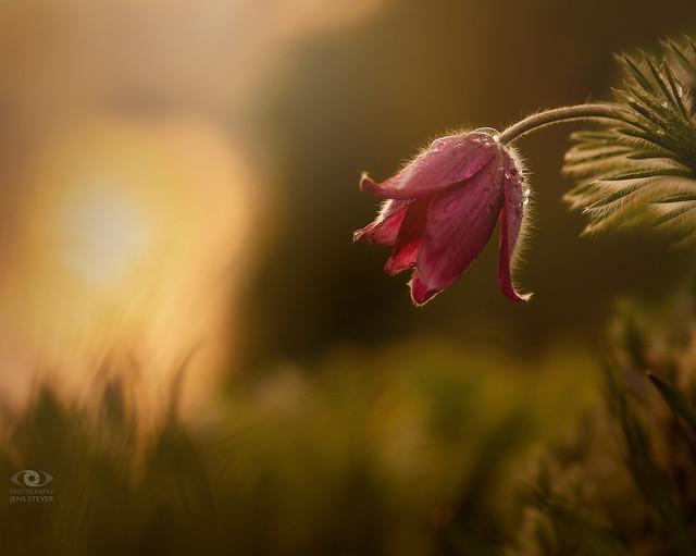 Kuhschelle am Abend (Pulsatilla vulgaris) / pasqueflower - pasque flower  in the evening ·  ·  ·  (R5B_3543-small)