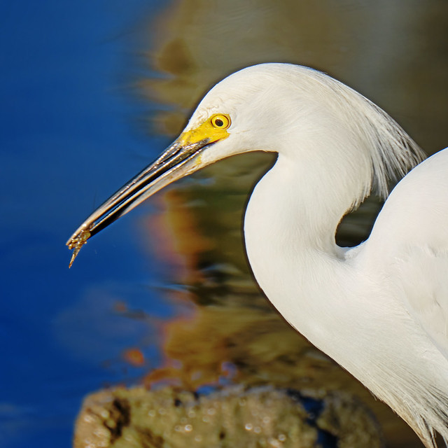 The egret and the shrimp