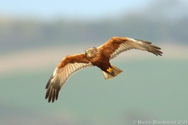 Marsh Harrier in flight 142870