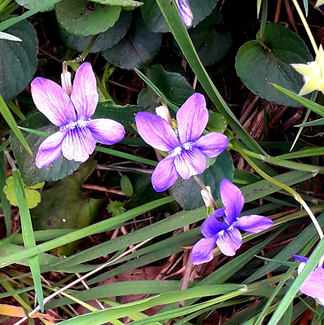 Tout simplement des violettes...