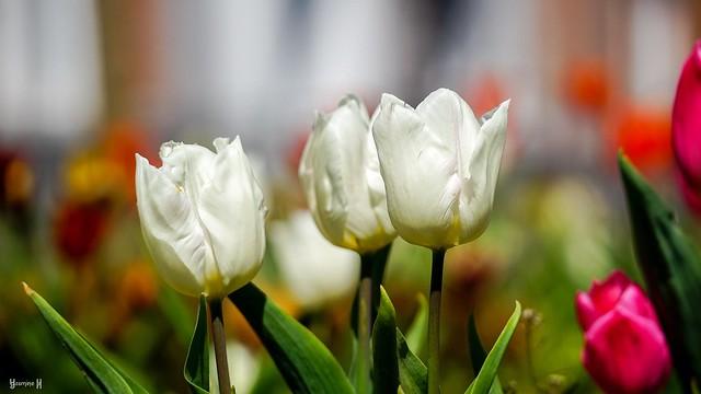 9656 - White Tulips