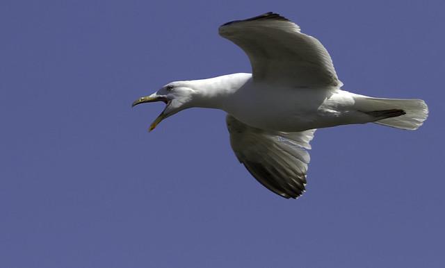Opinionated Gull
