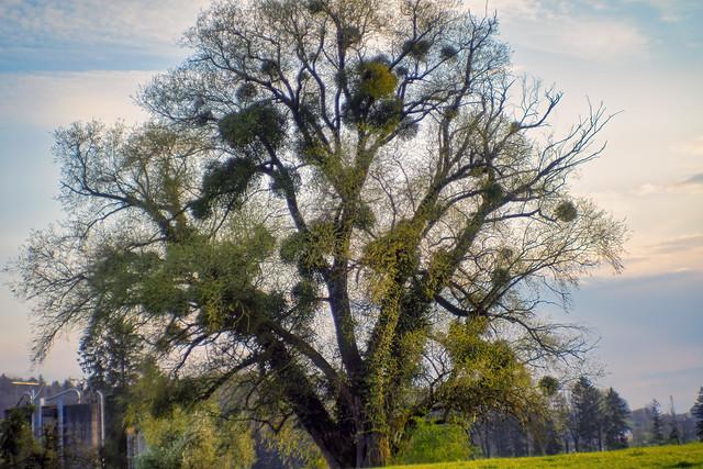Tree with Mistletoes
