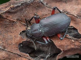Darkling beetle (Promethis sp.) - P4107234