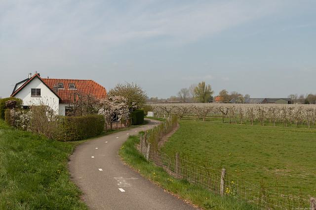 Flowering fruit trees in the Betuwe