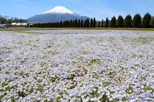 Mt.Fuji and flowers
