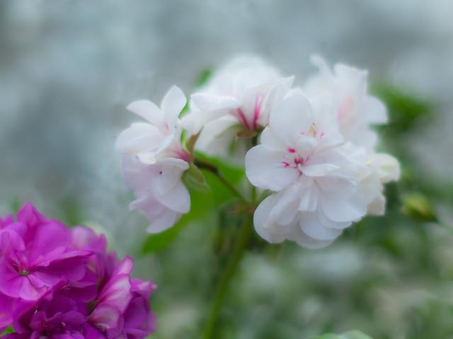 Magia de primavera (gitanillas)