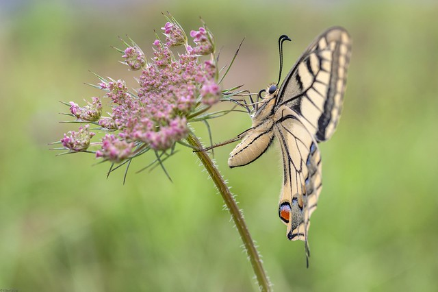 *Swallowtails are back*