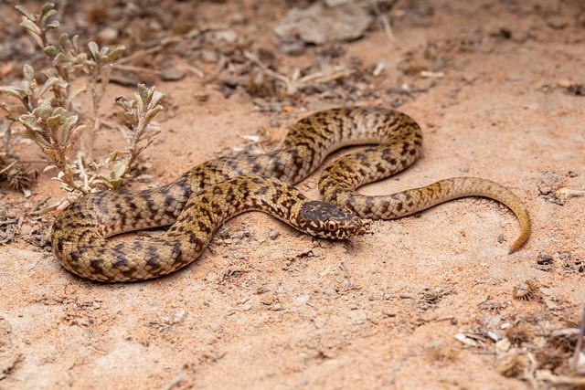 De Vis' Banded Snake - Denisonia devisi