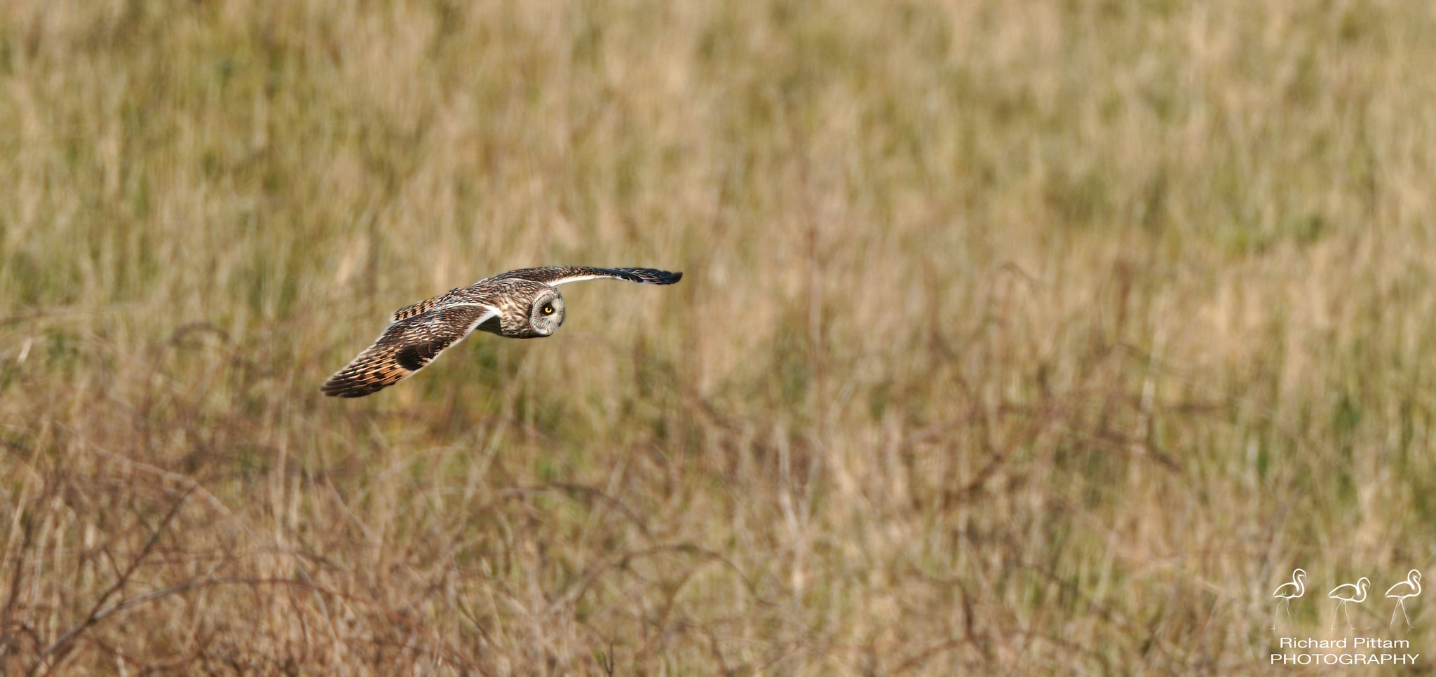 Short-eared Owl [ I've never gotten one close this season ]