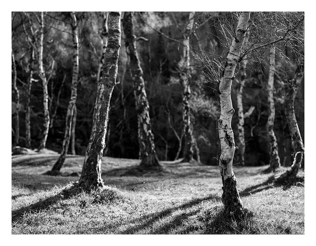 Sunlit birches