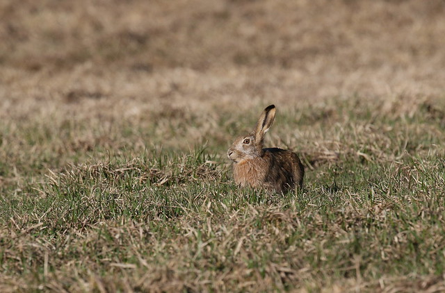 Hare nibbling